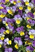 Violas — Stock Photo
