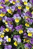 Violas — Stock Photo