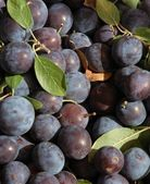 Little Blue Plums — Stock Photo