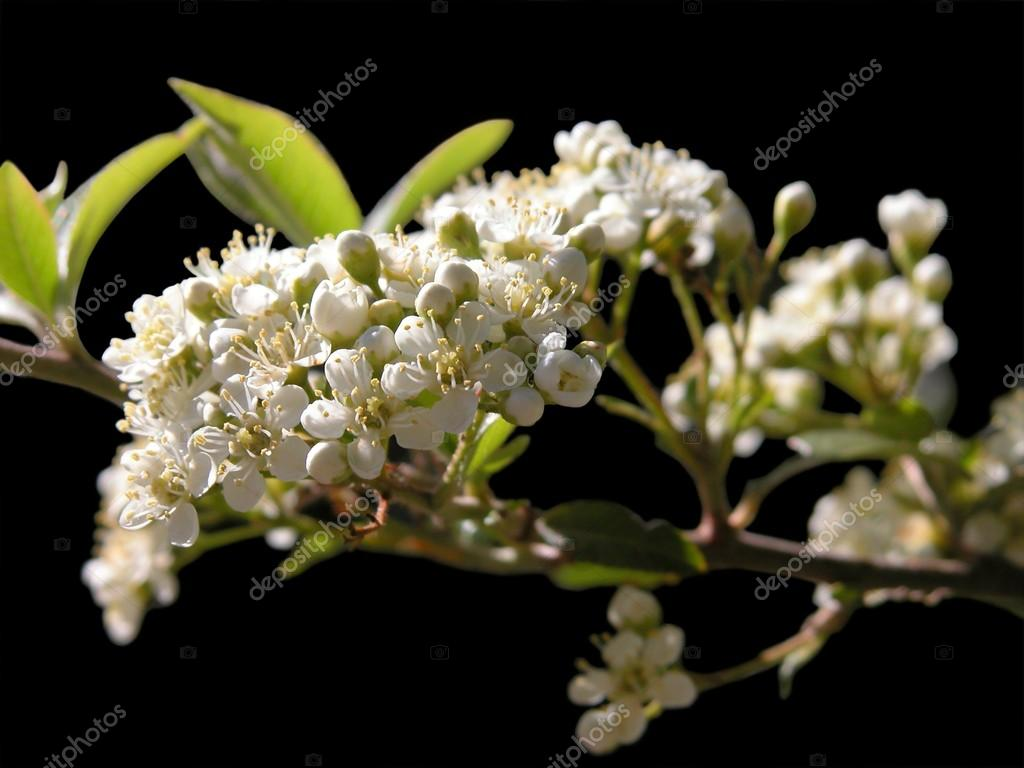 Sweet smelling blossoms of a thorny hedge — Stock Photo #18309455