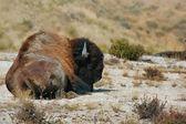 Buffalo lays where he wants to — Stock Photo