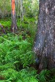 Ferns of Florida — Stock Photo