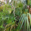 Forest Scene - Everglades — Stock Photo