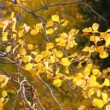 Stock Video: Aspen Leaves in Wind