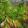 Stock Photo: Palmetto Understory - Everglades