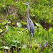 Stock Photo: Great Blue Heron (Ardeherodias)