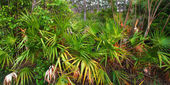 Palmetto Understory - Everglades — Stock Photo