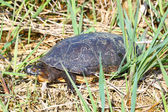 Blandings Turtle (Emydoidea blandingii) — Stock Photo