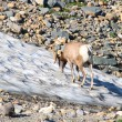 Bighorn sheep (Ovis canadensis) Montana - Stock Photo