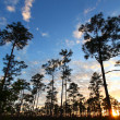 Stock Photo: Everglades Forest Sunset