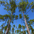 Pine Flatwoods - Florida — Stock Photo #14136613