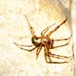 Cave orb weaver (Meta ovalis) - Stock Photo