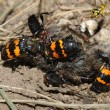 Burying Beetles (Nicrophorus orbicollis) — Stock Photo