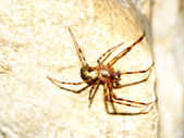 Cave orb weaver (Meta ovalis) — Stock Photo