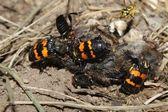 Burying Beetles (Nicrophorus orbicollis) — Stock Photo