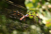 Golden Silk Orb-weaver (Nephila clavipes) — Stock Photo