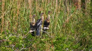 Anhingas in the Everglades — Stock Video