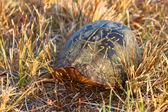 Florida box turtle (Terrapene carolina bauri) — Stockfoto