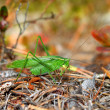 Fork-tailed Bush Katydid (Scudderifurcata) — Stock Photo #15799053