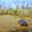 Blandings Turtle (Emydoidea blandingii) — Stock Photo