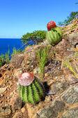 Cacti in British Virgin Islands — Stock Photo