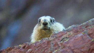 Hoary Marmot (Marmota caligata) — Stock Video