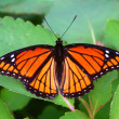 Viceroy Butterfly (Limenitis archippus) Illinois — Stock Photo
