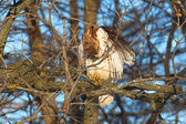 Red-tailed Hawk (Buteo jamaicensis) — Stock Photo