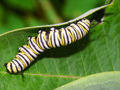 Monarch Caterpillar in Illinois — Stock Photo
