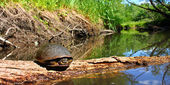 Blandings Turtle Illinois Stream — Stock Photo