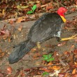 Stock Photo: AustraliBrushturkey (Alecturlathami)