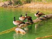 Canada Geese (Branta canadensis) — Stock Photo
