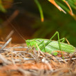 Fork-tailed Bush Katydid (Scudderia furcata) — Stock Photo
