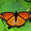 Viceroy Butterfly (Limenitis archippus) — Stock Photo