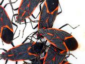 Gathering of Boxelder Bugs (Boisea trivittata) on a spring day in Illinois. — Foto Stock
