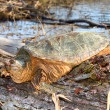 Snapping Turtle (Chelydra serpentina) — Stock Photo