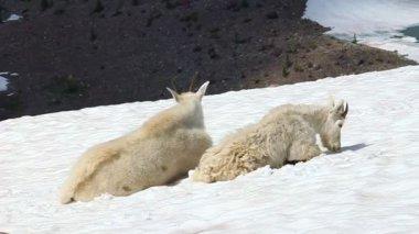 Mountain Goats (Oreamnos americanus) — Stock Video