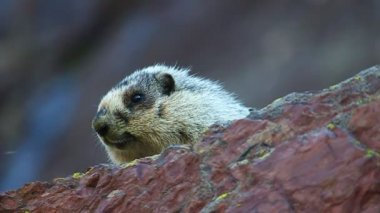 Hoary Marmot (Marmota caligata) — Stock Video