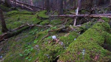 Moss Covered Forest Montana — Stock Video