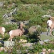 Stock Video: Bighorn Sheep Glacier National Park