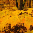 Stock Video: Yellow Autumn Maple Leaves