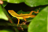 Upland Grass Anole (Anolis krugi) — Stock Photo