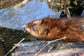 Muskrat (Ondatra zibethicus) in Illinois — Stock Photo