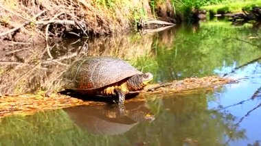 Blandings Turtle Basking Illinois — Stock Video