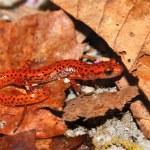 Cave Salamander (Eurycea lucifuga) — Stock Photo #8205183