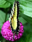 бабочка на цинния — Стоковое фото