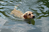 Golden Retriever Swimming — Stock Photo
