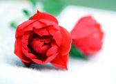 Deux boutons de roses — Photo
