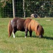 Постер, плакат: Small Pony Grazing