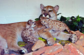 Mother Lion and Cubs — Stock Photo